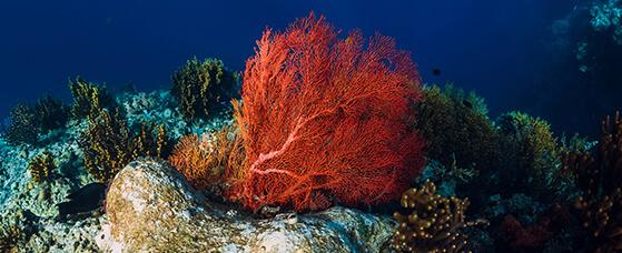 Coral Seaweed
